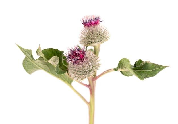 Teste spinose o fiori di bardana, isolati su sfondo bianco. pianta medicinale a base di erbe.