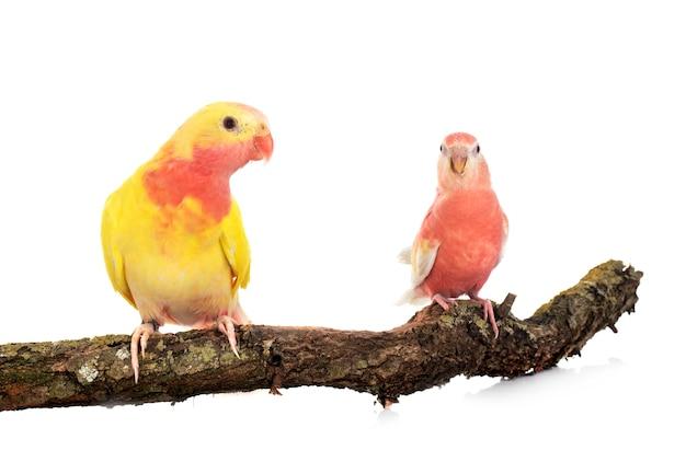 Principessa pappagallo sul ramo