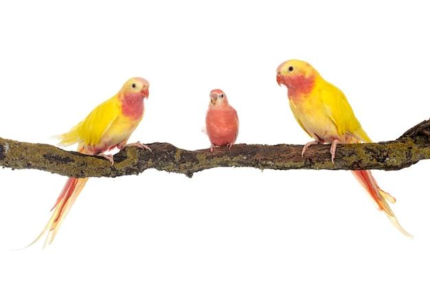 Principessa pappagallo davanti al bianco