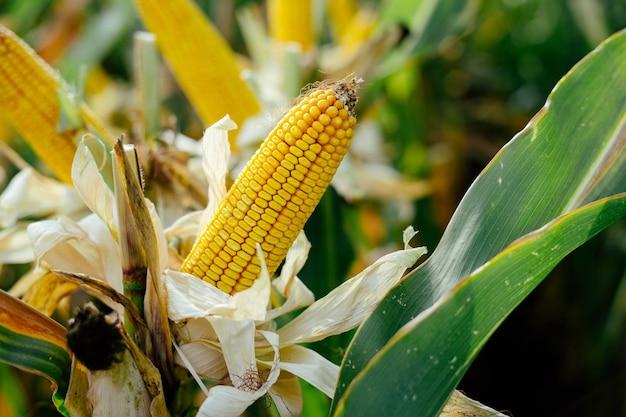 Pannocchie di mais giallo stampate nel campo