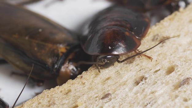 Il problema in casa a causa degli scarafaggi che vivono in cucina. scarafaggio che mangia pane integrale su fondo bianco (sfondo isolato). gli scarafaggi sono portatori della malattia.