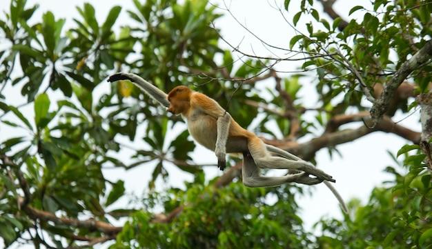 La scimmia proboscide sta saltando da un albero all'altro nella giungla. indonesia. l'isola del borneo. kalimantan.