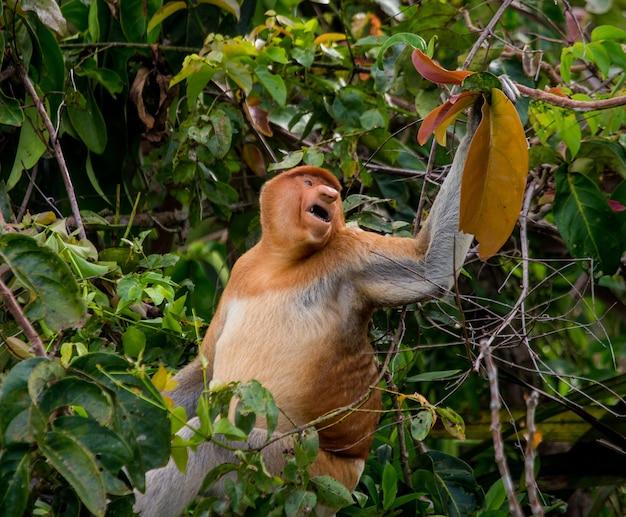 La scimmia proboscide è seduta su un albero nella giungla. indonesia. l'isola del borneo. kalimantan.