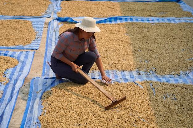 Il processo di essiccazione e riscaldamento dei chicchi di caffè arabica con il metodo naturale dell'energia solare, concetto industriale.