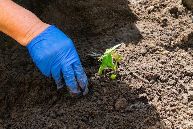 Processo di piantare una pianta nel terreno per la coltivazione di ortaggi. coltivazione biologica