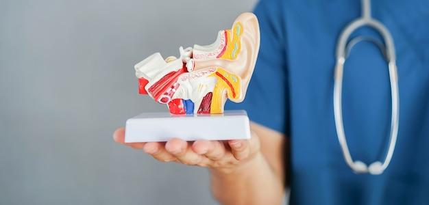 L'otorinolaringoiatra professionista tiene il modello di anatomia dell'orecchio umano presso la clinica per il trattamento e h