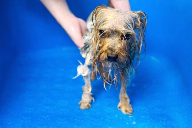Toelettatore professionale dell'animale domestico che lava il terrier di yorkshire con lo shampoo nel salone di toelettatura dell'animale domestico.