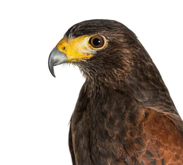 Profilo del falco di harris, parabuteo unicinctus, contro la superficie bianca