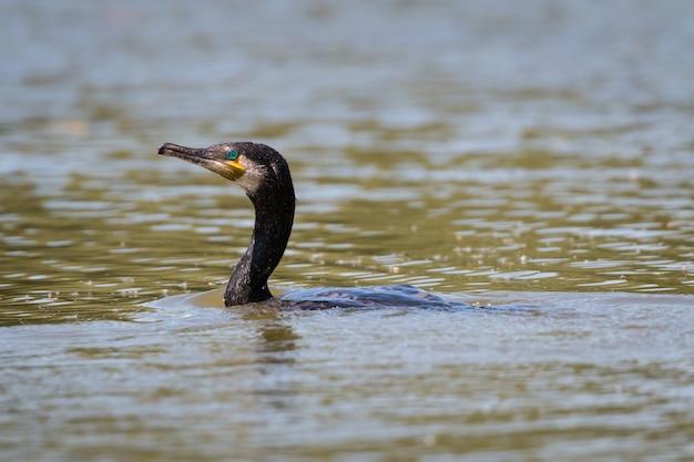Ritratto di profilo di un cormorano isolato nero nuotare su un lago al sole