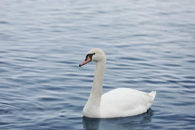 Profilo del cigno bianco sul lago nebbioso blu. grazioso cigno bianco che nuota nel lago, cigni allo stato brado