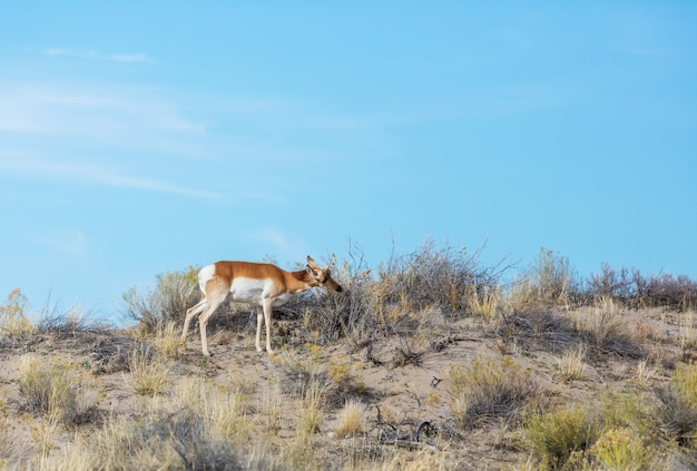Pronghorn antelope nella prateria americana, usa