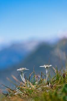 Il fiore di montagna edelweiss protetto sulle alpi bergamasche.
