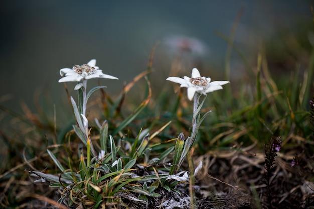 Il fiore alpino protetto edelweiss una coppia