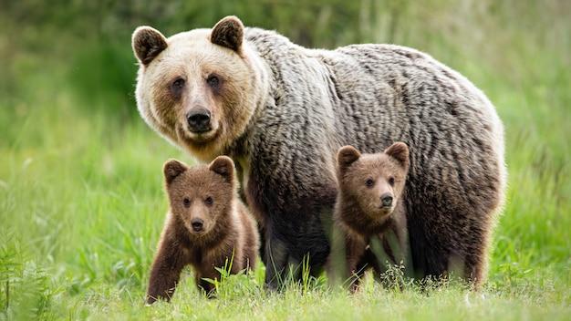 Orso bruno femminile protettivo che sta vicino ai suoi due cuccioli