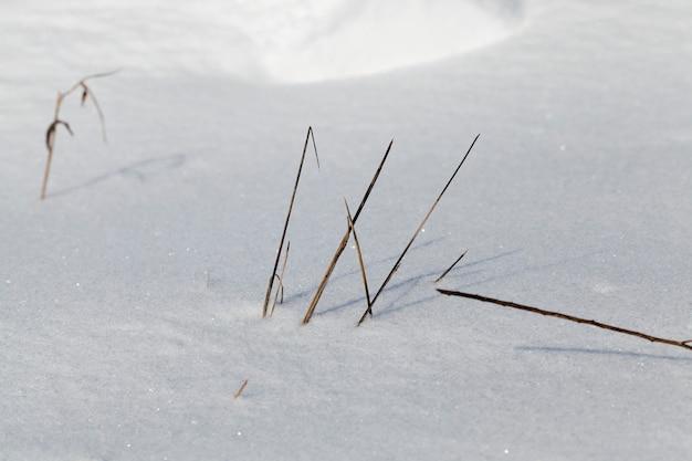 Sporgono da sotto la neve alcuni steli di erba secca, stagione invernale