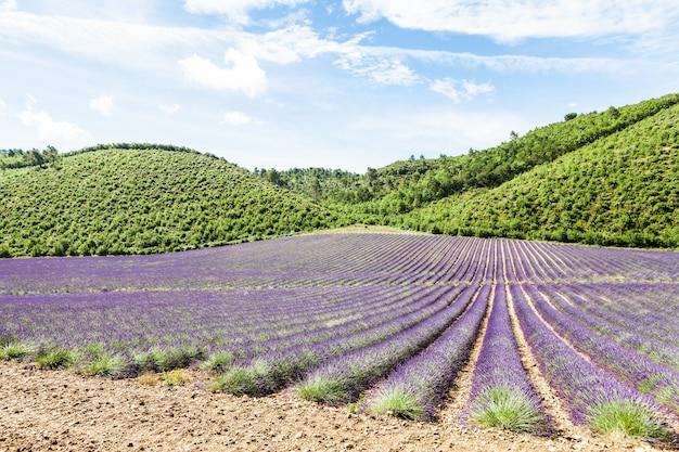 Regione della provenza, francia. campo di lavanda a fine giugno