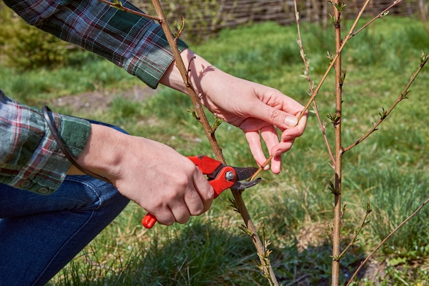 Potatura di alberi da parte delle cesoie