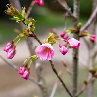 Prunus serrulata o ciliegio giapponese in piena fioritura.