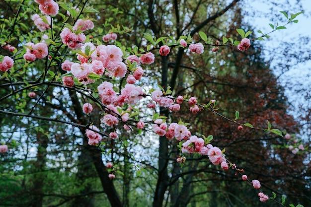 Prunus serrulata, fiore di ciliegio primaverile