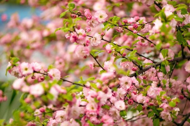 Prunus triloba (louiseania) fiorisce. primavera cespuglio di mandorla con bellissimi fiori rosa. sullo sfondo della natura.