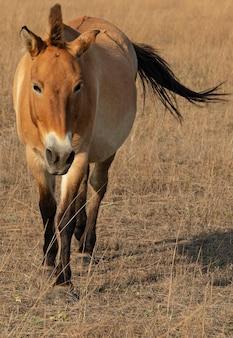 Cavallo animale di przewalski nella steppa, askaniya-nova, ucraina
