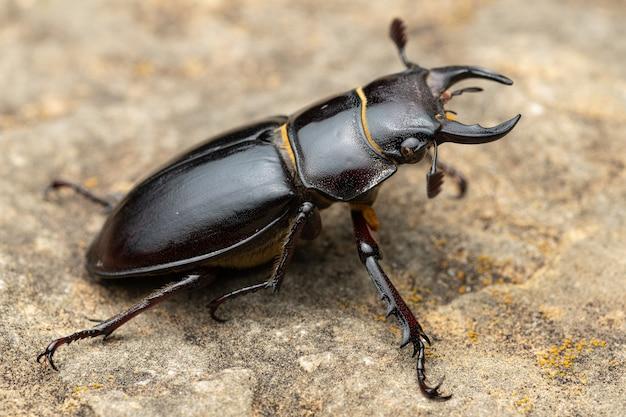 Pseudolucanus barbarossa detto lucanus barbarossa