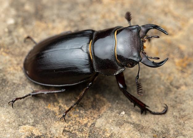 Pseudolucanus barbarossa (lucanus barbarossa) è un bellissimo coleottero nero Foto Premium
