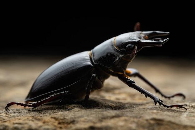Pseudolucanus barbarossa (lucanus barbarossa) è un bellissimo coleottero nero
