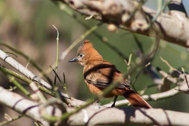 Pseudoseisura lophotes, uccello che abita il sud america, appollaiato sui rami dell'albero