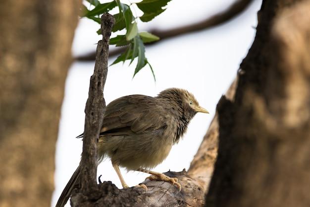 Il chiacchierone dalla gola gonfia seduto sul ramo