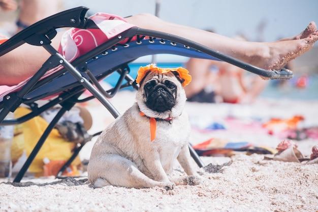 Il cane di razza del carlino dentro al cappello arancione sta riposando su una spiaggia