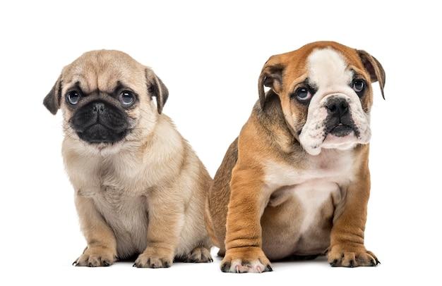 Cuccioli di pug e bulldog fianco a fianco, isolati su bianco