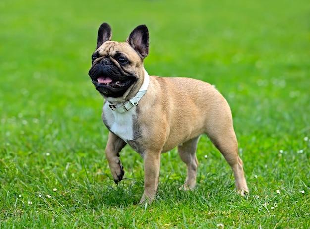 Pug a una mostra canina in primavera