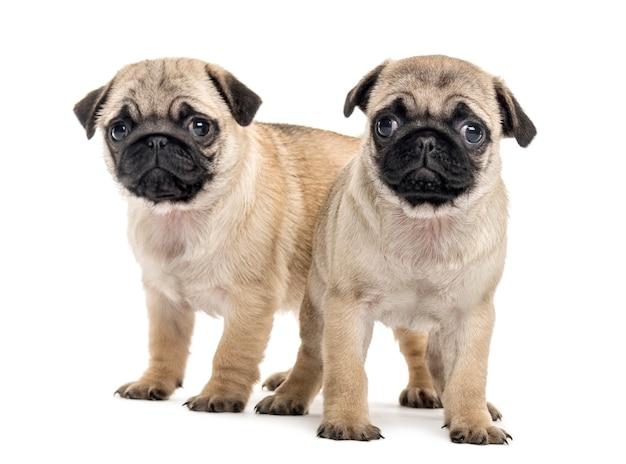 Cuccioli di pug fianco a fianco, isolati su bianco