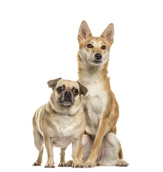 Pug e shiba inu fianco a fianco, isolati su bianco