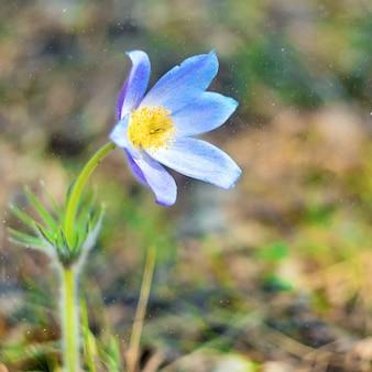 Patene pulsatilla o prairie crocus. i fiori viola si chiudono in su. pasqueflowers. primavera selvaggia bellissimi fiori