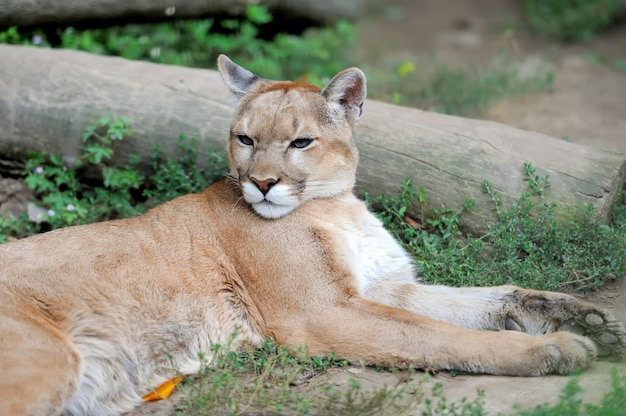 Puma face in natura