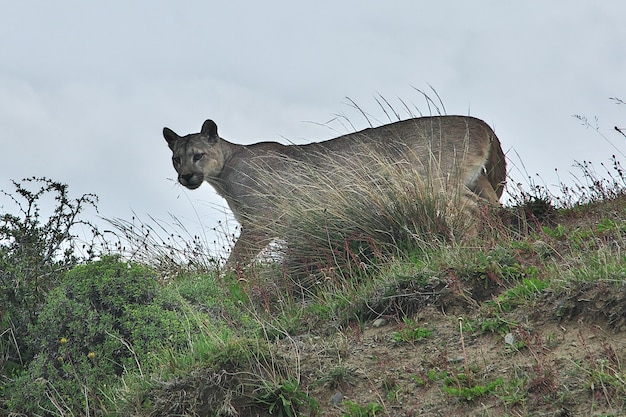Puma nel parco nazionale torres del paine in patagonia, cile