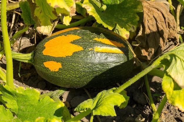 Zucca in giardino
