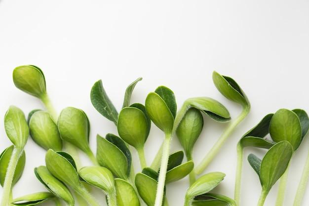 Microgreens di zucca. microgreens germogliati.