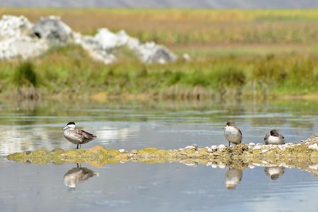 Puna duck sul lago