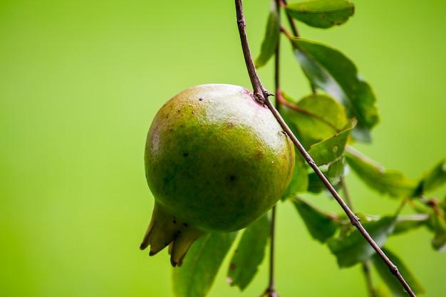 Punica granatum che appende sul ramo