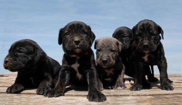 Cuccioli di canna corso