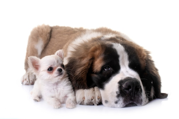 Cuccioli chihuahua e san bernardo davanti a sfondo bianco