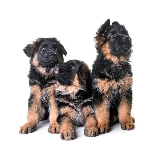 Pastore tedesco dei cuccioli isolato su bianco