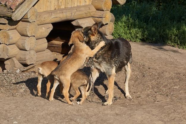 I cuccioli giocano con la mamma accanto a una cuccia e si scaldano sotto i raggi del sole nascente.