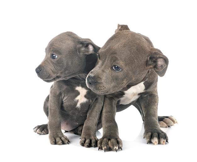 Cuccioli staffordshire bull terrier