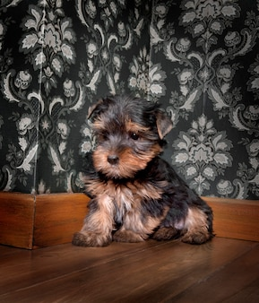Yorkshire terrier di puppuy in una retro stanza