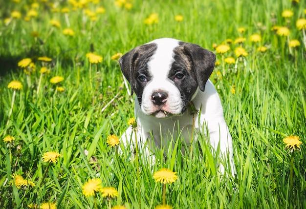 Bulldog americano cucciolo per una passeggiata nel parco.