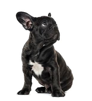 Cucciolo bulldog francese nero seduto e guardando lontano, isolato su bianco